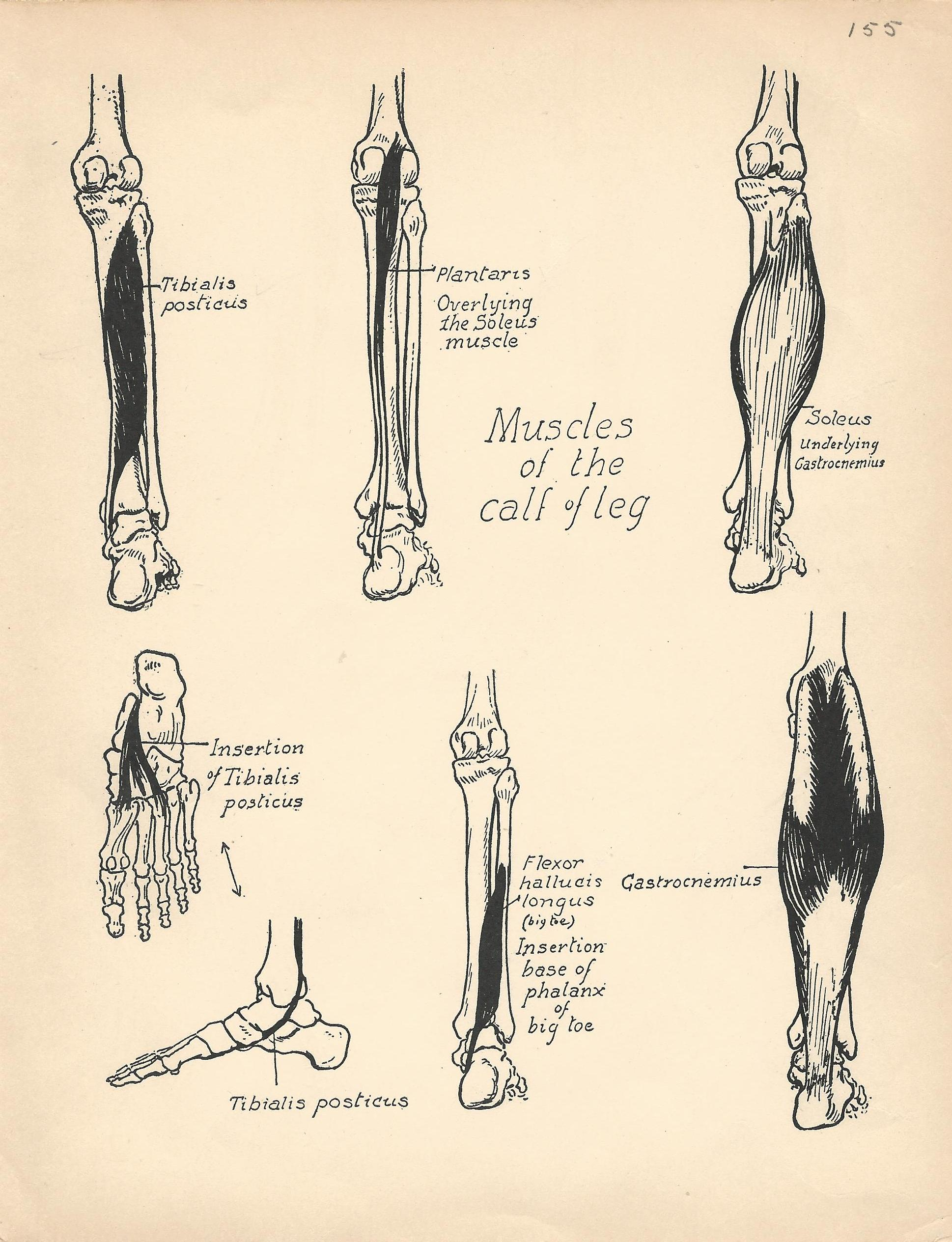 Vintage Anatomy Book Page - Legs - The Graffical Muse