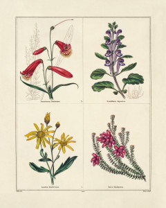 four flowers: beard tongue, scullcap, heath, daisy, red, violet and yellow