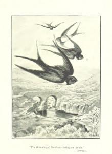 Vintage Sparrow Illustration 2 - Original