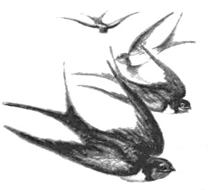 Vintage Sparrow Illustration 2