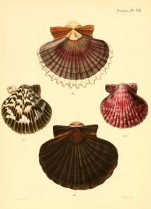 Vintage Seashell Print 1