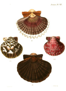 Vintage Seashell Print 1 - White BG