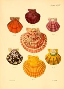 Vintage Seashell Print 2