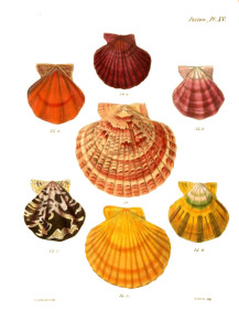 Vintage Seashell Print 2 White BG