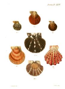 Vintage Seashell Print 3 White BG