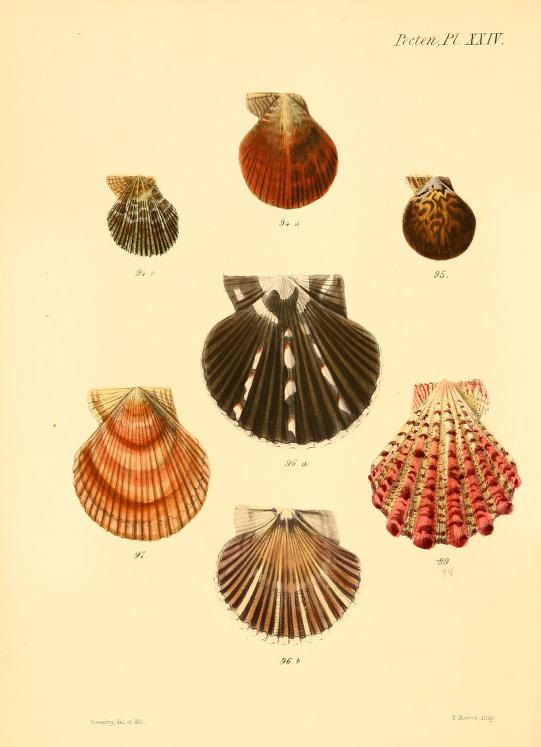 Vintage Illustrations Seashell Prints The Graffical Muse