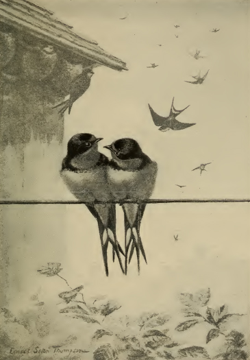 Vintage Bird Illustration Swallows The Graffical Muse