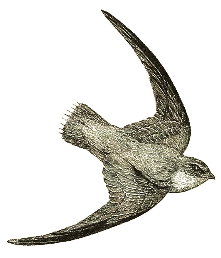 vintage bird clip art
