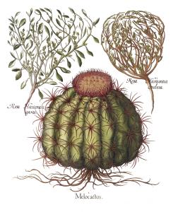 Vintage Cactus Illustration - Print