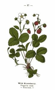 Free Vintage Print Wild Strawberry