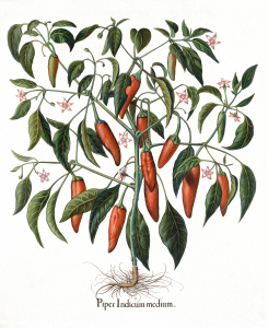 Vintage Pepper Plant Illustration Print