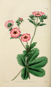 Vintage Botanical Print - Pink Flower