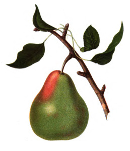 Vintage Pear Illustration - Botanical - Fruit