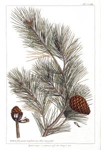 Vintage Pine Tree  Print