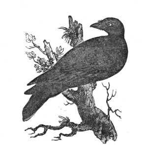 Vintage Raven Illustration