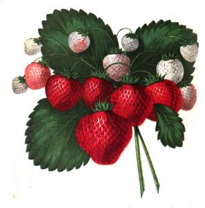 Vintage Strawberry Clip Art Illustration