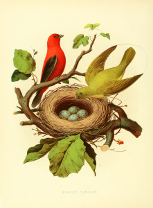 Vintage Print - Birds with Nest and Eggs